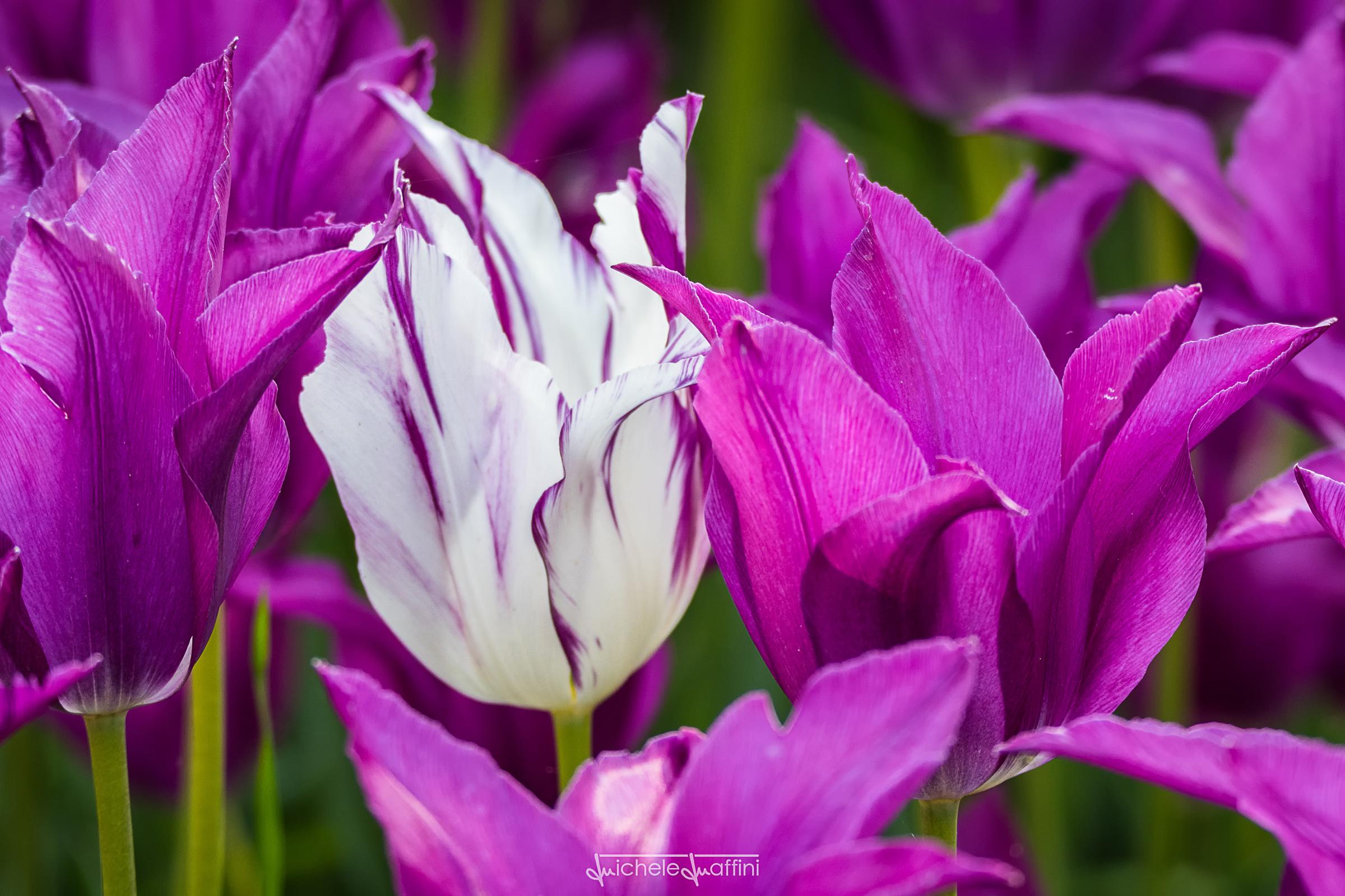 Tulip_11
