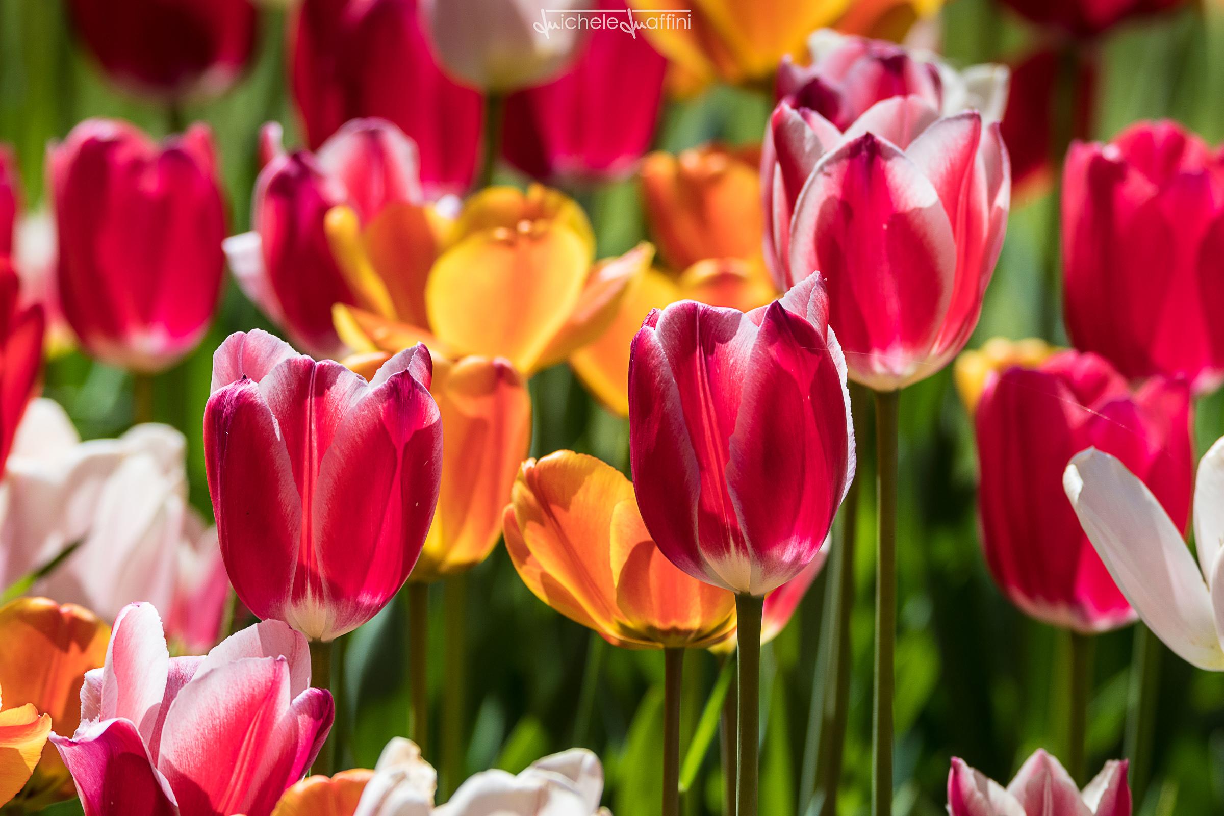 Tulip_6