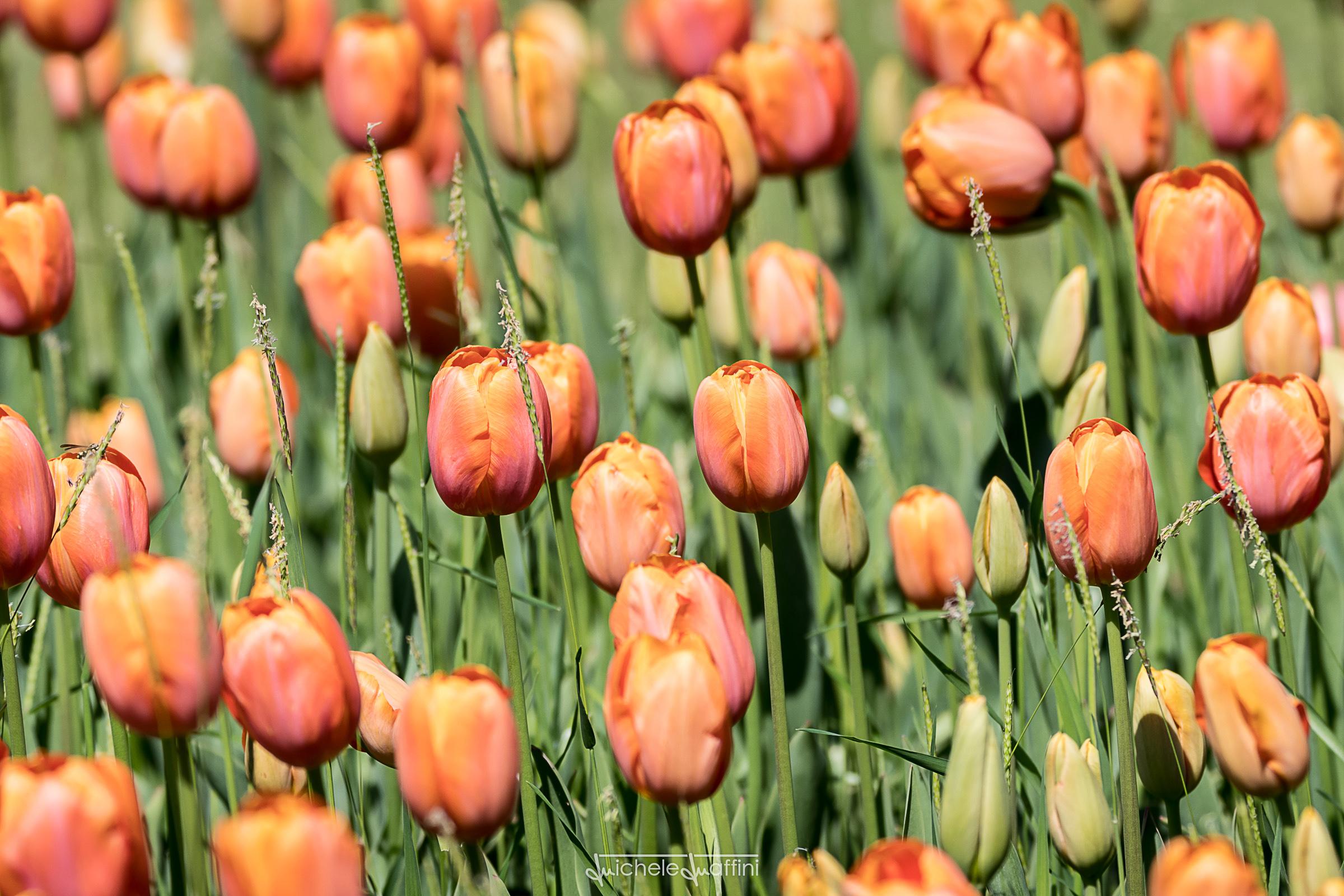 Tulip_7