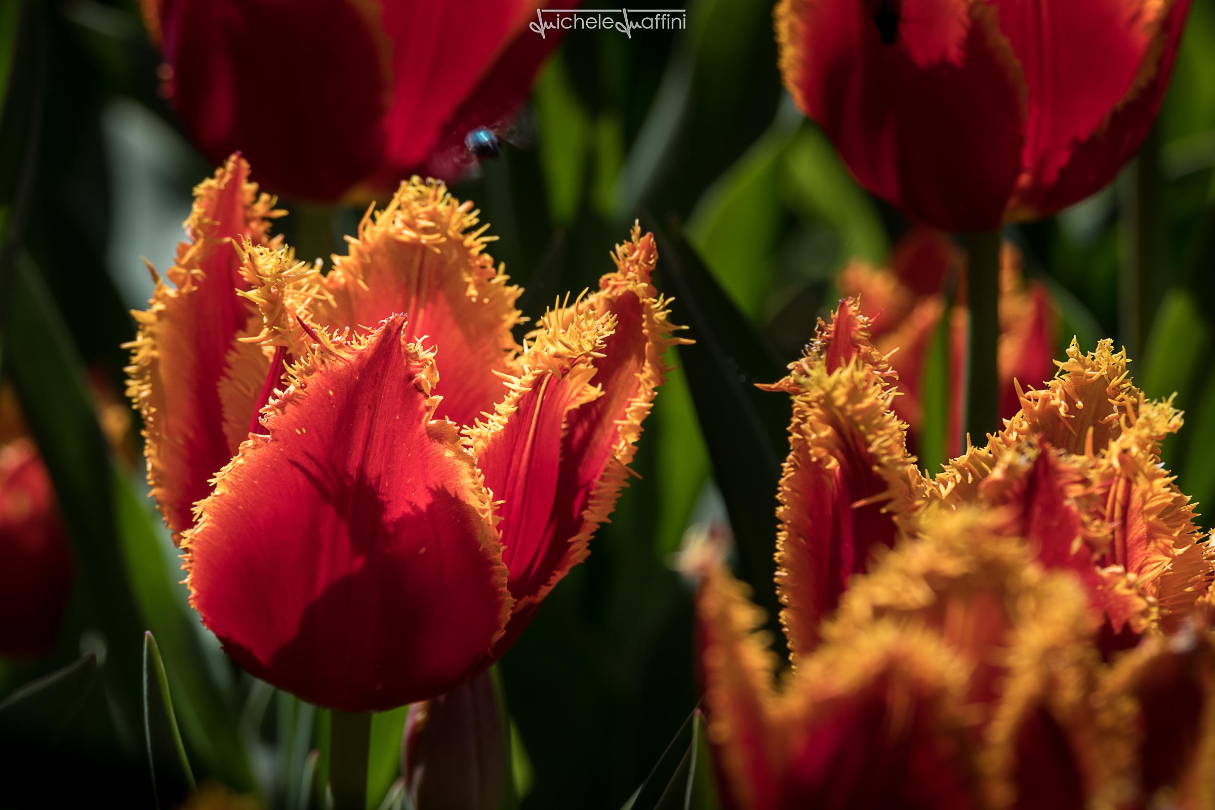 Tulip_9
